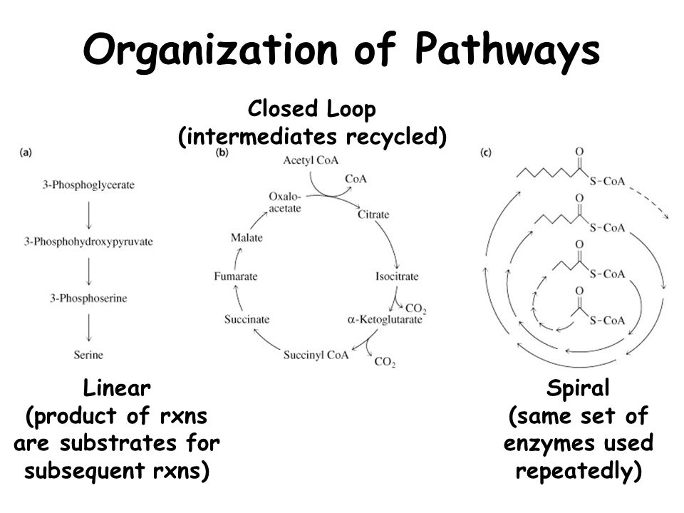 Organization of Pathways Linear (product of rxns are substrates for subsequent rxns) Closed Loop (intermediates recycled) Spiral (same set of enzymes used repeatedly)