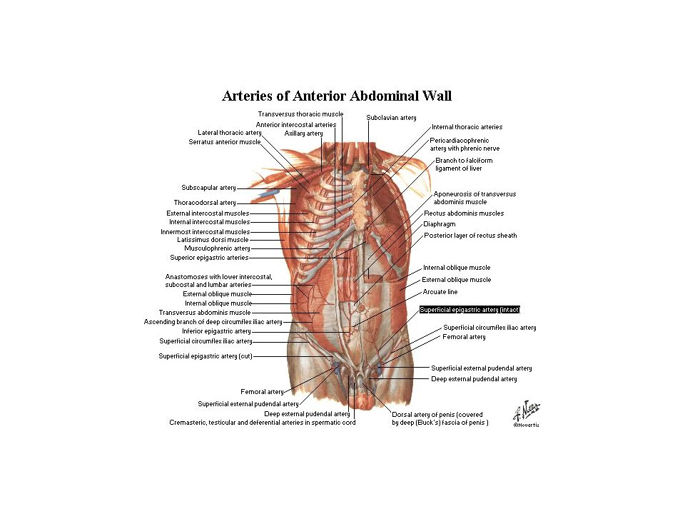 Abdominal Wall. - ppt video online download
