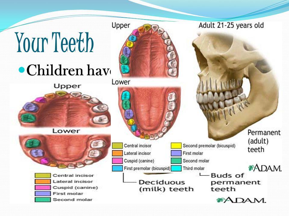 Canine Teeth Anatomy Images Human Body Anatomy