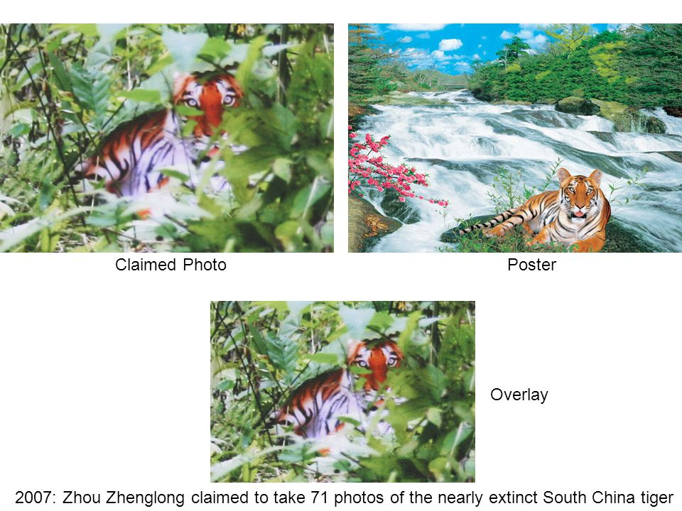 2007: Zhou Zhenglong claimed to take 71 photos of the nearly extinct South China tiger Claimed PhotoPoster Overlay