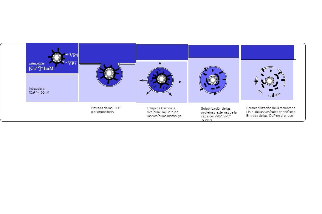 Permeabilización de la membrana Lisis de las vesículas endocíticas Entrada de las DLP en el citosol intracelular [Ca 2+ ]=100nM VP4 VP7 extracelular [Ca 2 + ]= 1mM Eflujo de Ca 2+ de la vesícula; la [Ca 2+ ]de las vesículas disminuye Ca 2+ Entrada de las TLP por endocitosis Solubilización de las proteinas externas de la cápside (VP5*, VP8* & VP7)