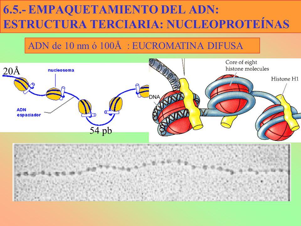 6.5.- EMPAQUETAMIENTO DEL ADN: ESTRUCTURA TERCIARIA: NUCLEOPROTEÍNAS ADN de 10 nm ó 100Å : EUCROMATINA DIFUSA 20Å 54 pb
