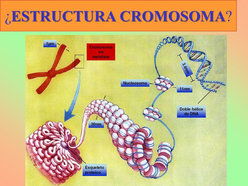 ESTRUCTURA CROMOSOMA ¿ESTRUCTURA CROMOSOMA?