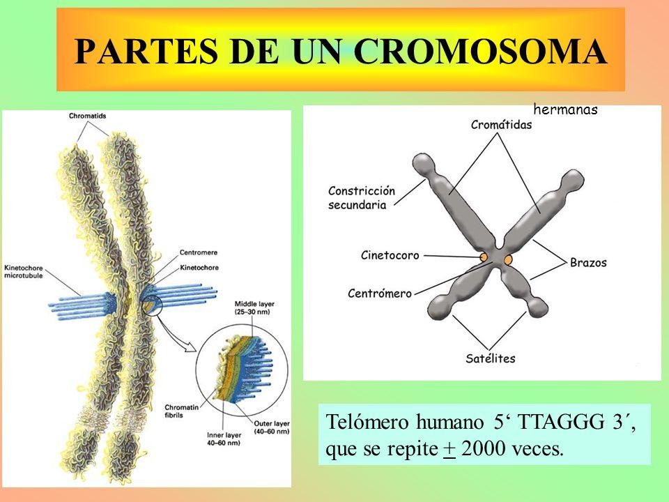 hermanas Telómero humano 5' TTAGGG 3´, que se repite + 2000 veces. PARTES DE UN CROMOSOMA