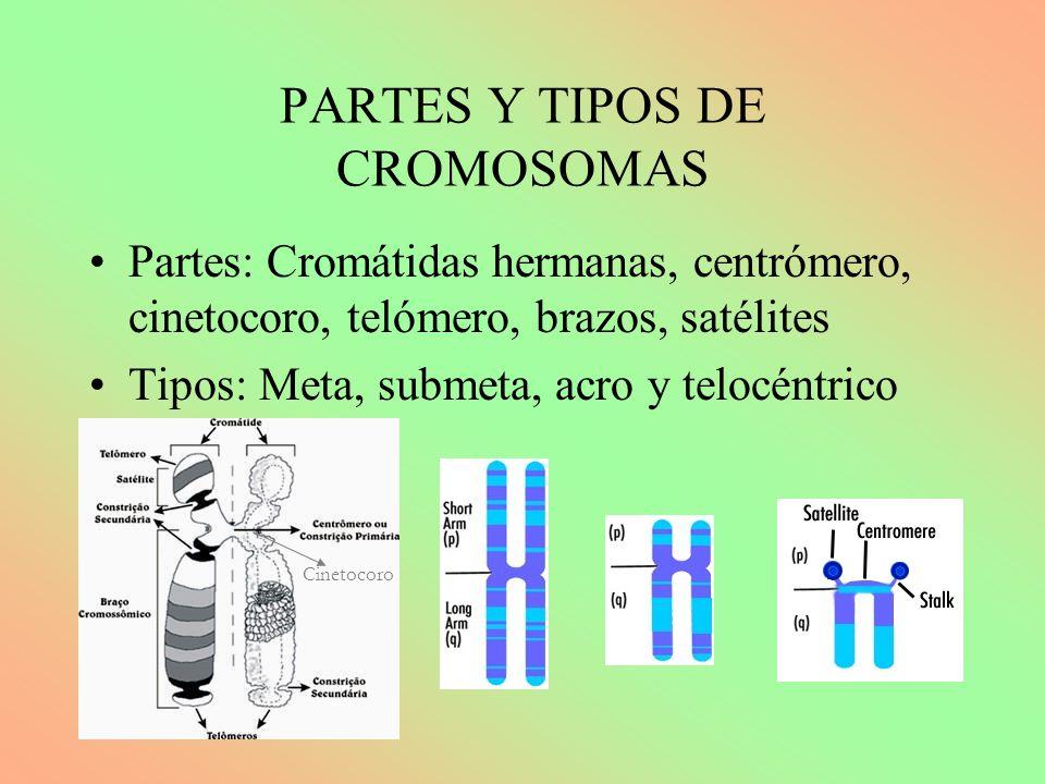 PARTES Y TIPOS DE CROMOSOMAS Partes: Cromátidas hermanas, centrómero, cinetocoro, telómero, brazos, satélites Tipos: Meta, submeta, acro y telocéntrico Cinetocoro