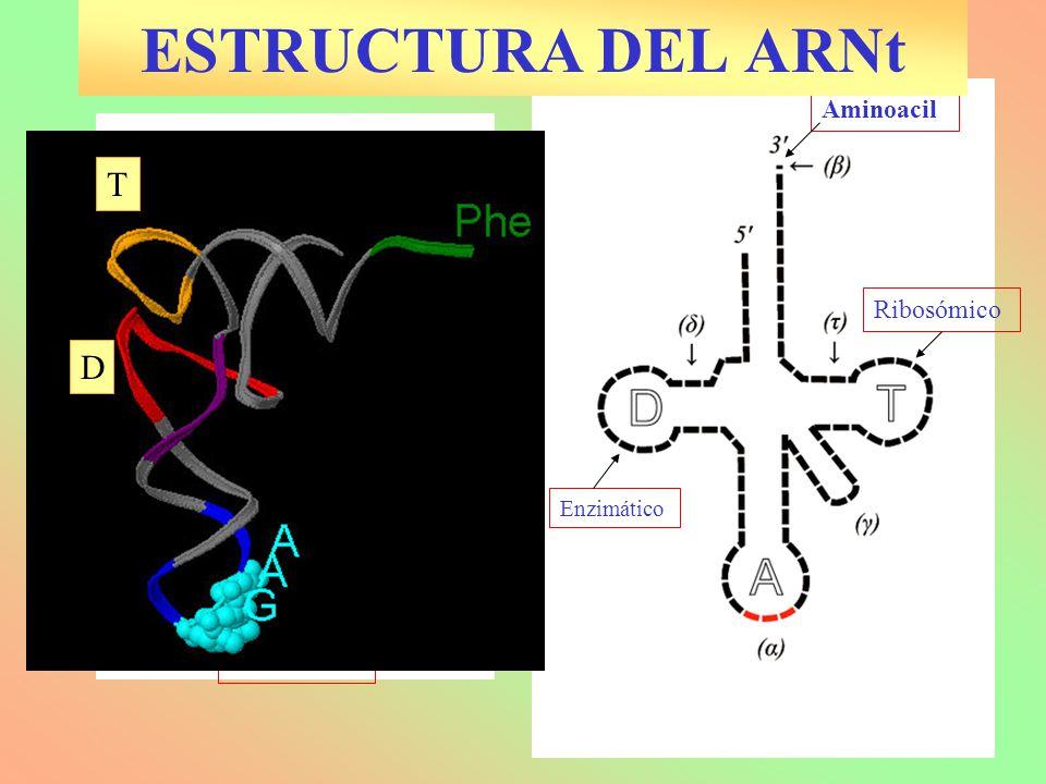 Enzimático Anticodón Aminoacil Variable Ribosómico T D ESTRUCTURA DEL ARNt