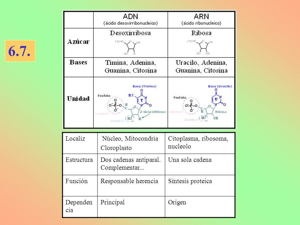 Localiz Núcleo, Mitocondria Cloroplasto Citoplasma, ribosoma, nucleolo EstructuraDos cadenas antiparal.
