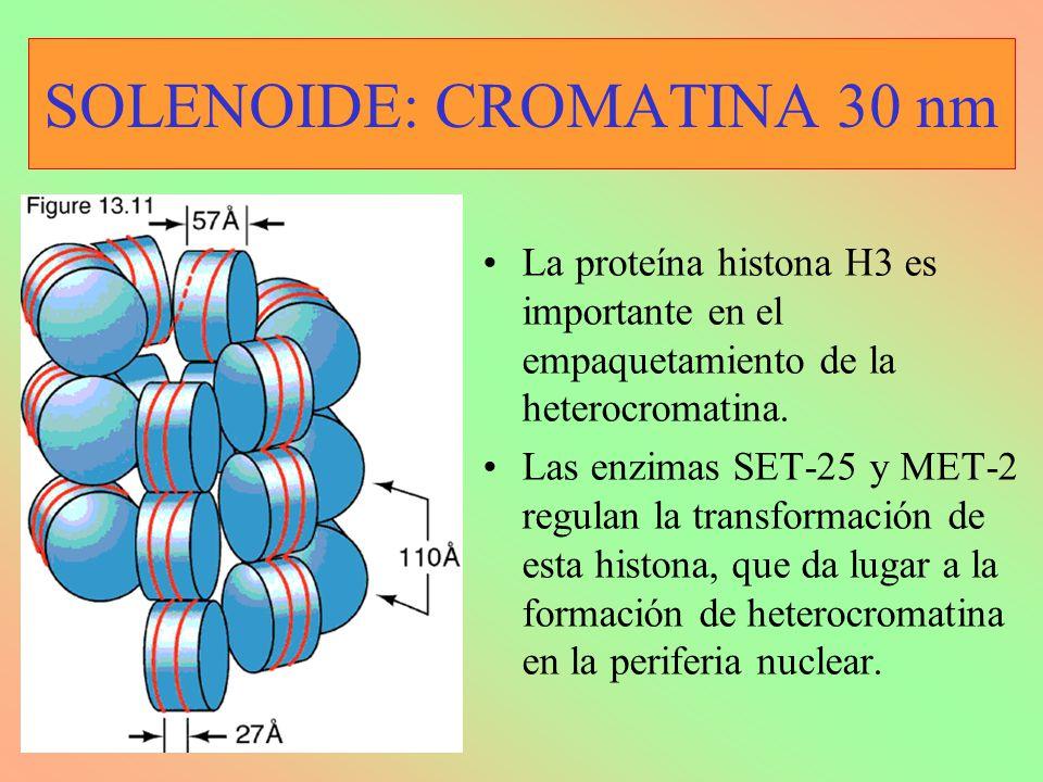 SOLENOIDE: CROMATINA 30 nm La proteína histona H3 es importante en el empaquetamiento de la heterocromatina.