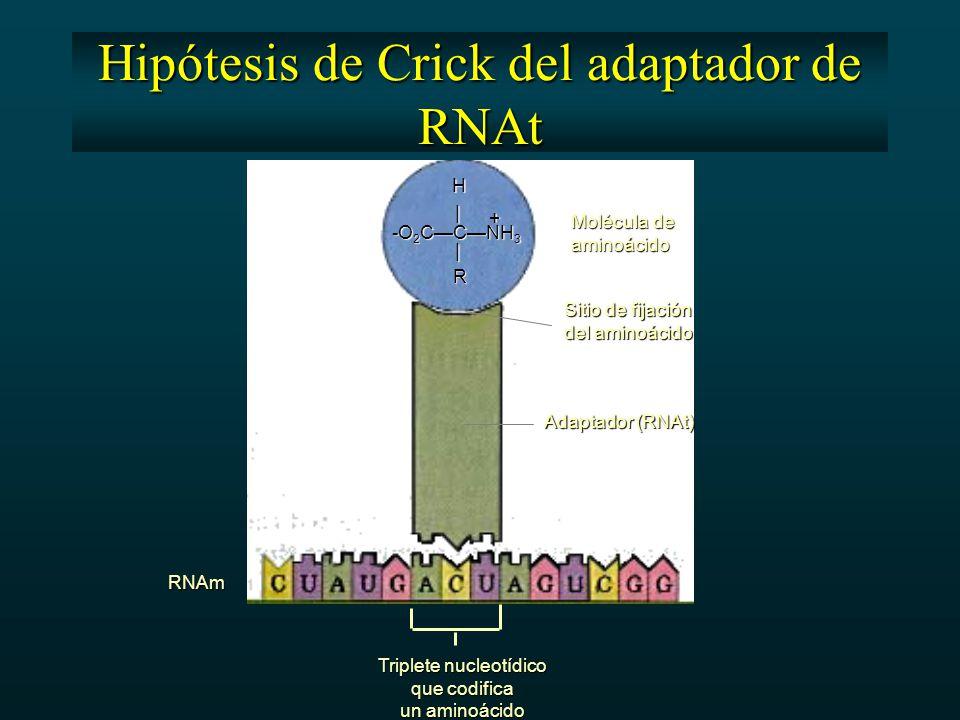 Molécula de aminoácido Sitio de fijación del aminoácido Adaptador (RNAt) RNAm Triplete nucleotídico que codifica un aminoácido + -O 2 C—C—NH 3 | |HR Hipótesis de Crick del adaptador de RNAt