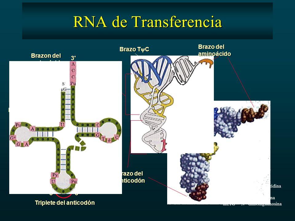 3 5 5 3 Triplete del anticodón Brazo T  C Brazo del aminoácido anticodón BrazoDHU Brazon del aminoácido BrazoDHU Brazo T  C Brazoextra RNA de Transferencia  pseudouridina I inosina T ribotimidina DHU 5,6-dihidroxiuridina m 1 I 1-metilinosina m 1 G 1-metilguanisina m21G N 2 -dimetilguanosina