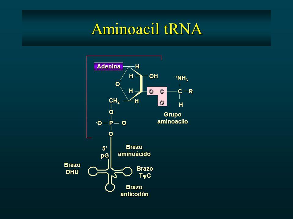 O O O -O-O-O-OP CH 2 Adenina H H H H H R O OH O O CC + NH 3 Grupoaminoacilo Brazoaminoácido Brazoanticodón BrazoDHU Brazo T  C 5 pG Aminoacil tRNA