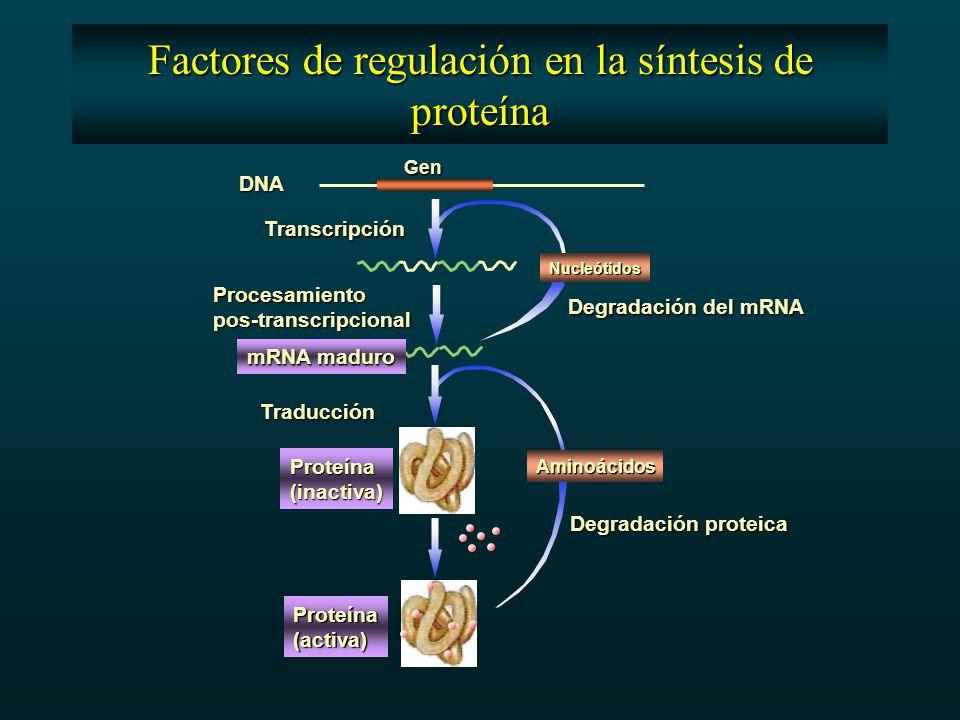 Factores de regulación en la síntesis de proteína DNA Gen Transcripción Procesamientopos-transcripcional Nucleótidos Degradación del mRNA mRNA maduro Aminoácidos Proteína(inactiva) Proteína(activa) Traducción Degradación proteica