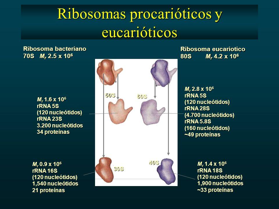 Ribosoma bacteriano 70S M r 2.5 x 10 6 Ribosoma eucariotico 80S M r 4.2 x 10 6 50S 60S 30S 40S M r 1.6 x 10 6 rRNA 5S (120 nucleótidos) rRNA 23S 3.200 nucleótidos 34 proteínas M r 2.8 x 10 6 rRNA 5S (120 nucleótidos) rRNA 28S (4.700 nucleótidos) rRNA 5.8S (160 nucleótidos) ~49 proteínas M r 0.9 x 10 6 rRNA 16S (120 nucleótidos) 1,540 nucleótidos 21 proteínas M r 1.4 x 10 6 rRNA 18S (120 nucleótidos) 1,900 nucleótidos ~33 proteínas Ribosomas procarióticos y eucarióticos