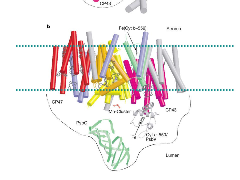From: A. Zouni et al. Nature 409, 739-743 (2001) Structure of Photosystem II of Synechococcus elongatus