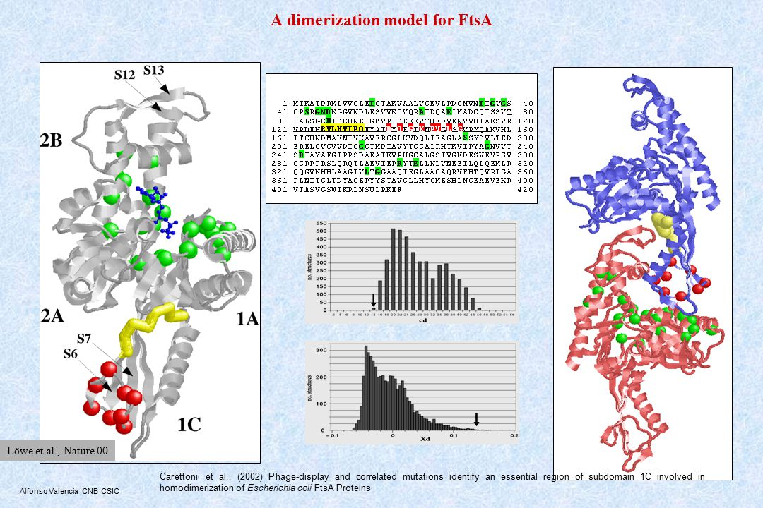 Alfonso Valencia CNB-CSIC A dimerization model for FtsA Carettoni, et al., (2002) Phage-display and correlated mutations identify an essential region of subdomain 1C involved in homodimerization of Escherichia coli FtsA Proteins Löwe et al., Nature 00