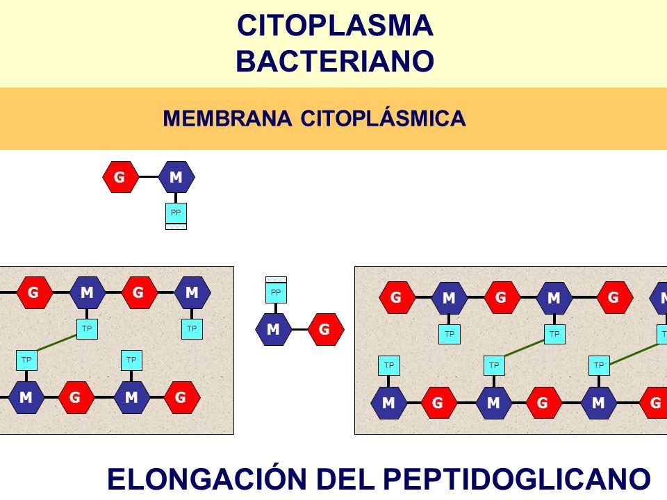 GGGM TP M M G G GM M M GGG M M M GGG M M M GM PP GM ELONGACIÓN DEL PEPTIDOGLICANO CITOPLASMA BACTERIANO MEMBRANA CITOPLÁSMICA
