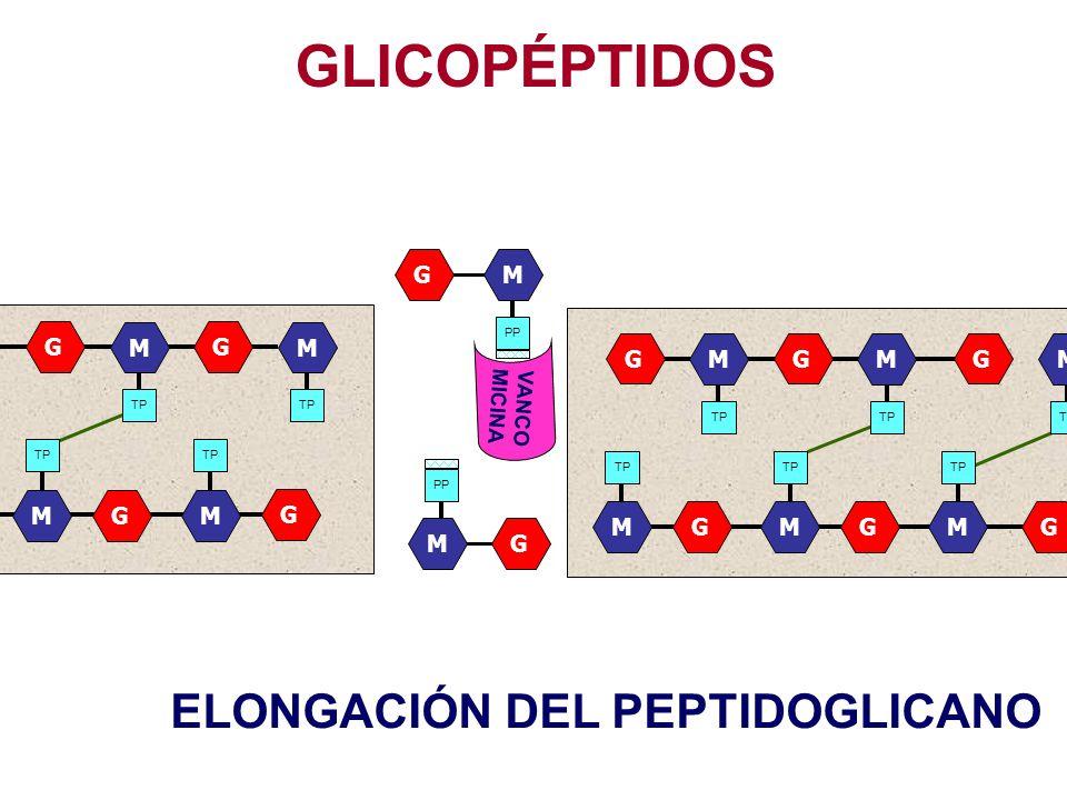 GLICOPÉPTIDOS VANCO MICINA GGGM TP M M G G GM M M GGG M M M GGG M M M ELONGACIÓN DEL PEPTIDOGLICANO GM PP GM