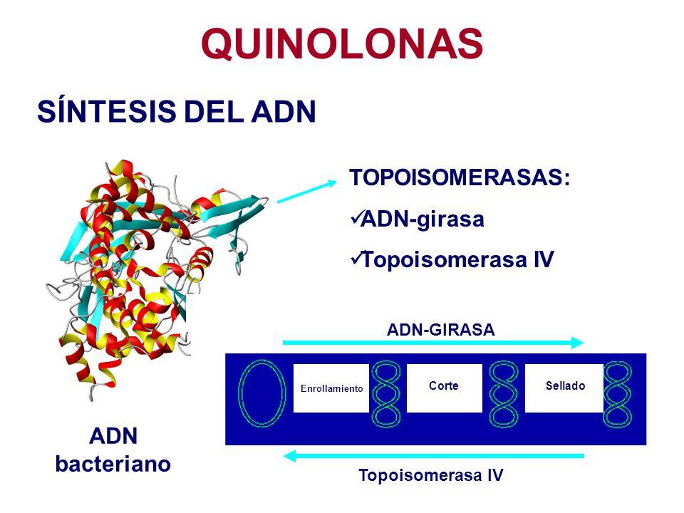 QUINOLONAS TOPOISOMERASAS: ADN-girasa Topoisomerasa IV ADN-GIRASA Topoisomerasa IV Enrollamiento CorteSellado ADN bacteriano SÍNTESIS DEL ADN