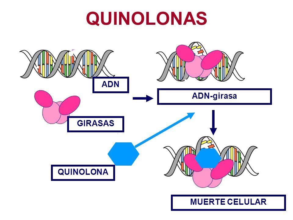MUERTE CELULAR ADN GIRASAS QUINOLONA ADN-girasa QUINOLONAS