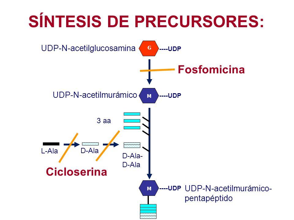 SÍNTESIS DE PRECURSORES: G UDP-N-acetilglucosamina UDP-N-acetilmurámico Fosfomicina ----UDP M 3 aa L-Ala D-Ala D-Ala- D-Ala M ----UDP UDP-N-acetilmurá