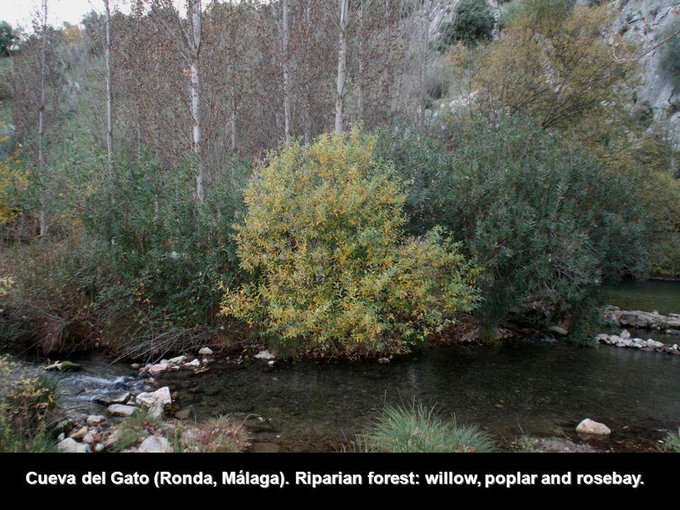 Cueva del Gato (Ronda, Málaga). Riparian forest: willow, poplar and rosebay.