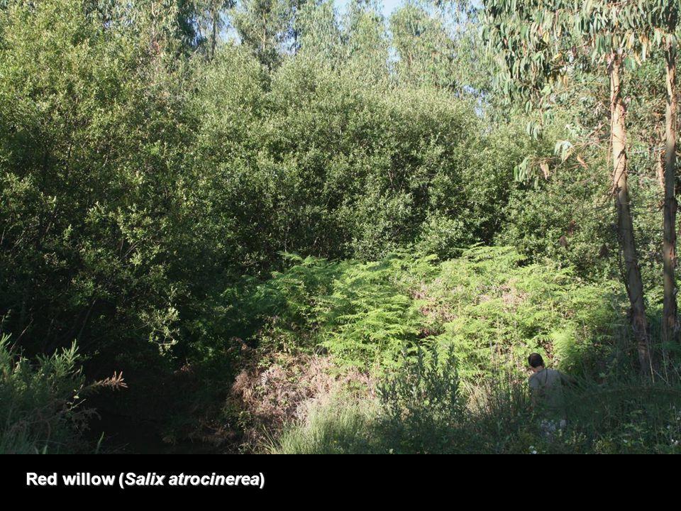 Red willow (Salix atrocinerea)