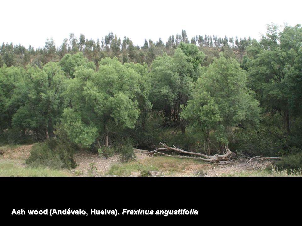 Ash wood (Andévalo, Huelva). Fraxinus angustifolia