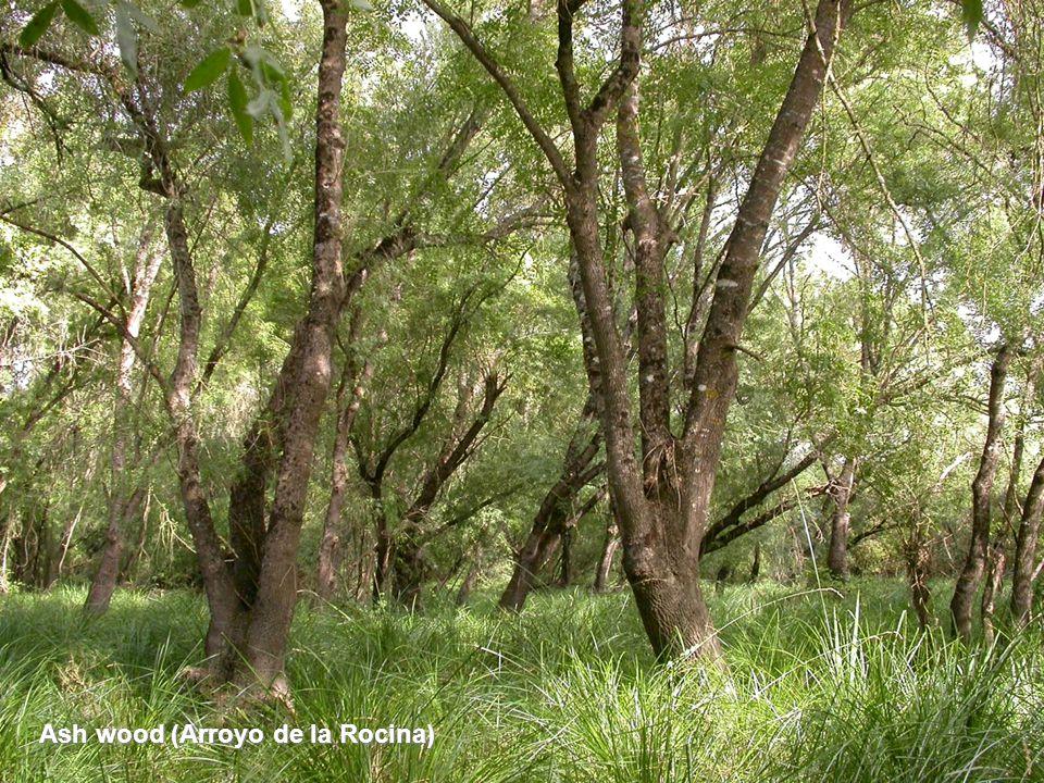 Ash wood (Arroyo de la Rocina)