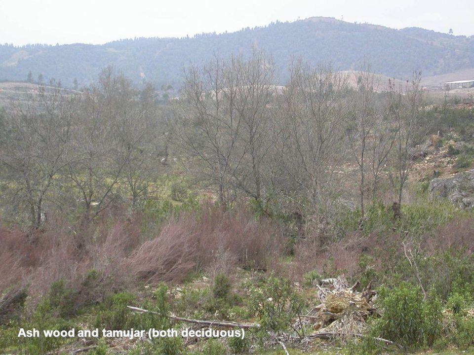 Ash wood and tamujar (both deciduous)
