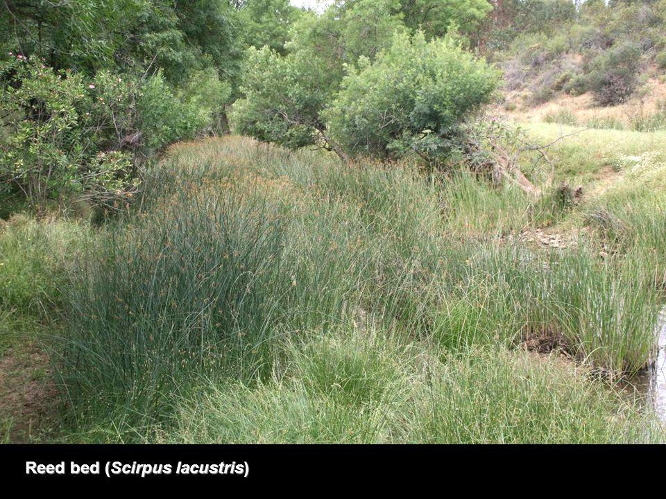 Reed bed (Scirpus lacustris)