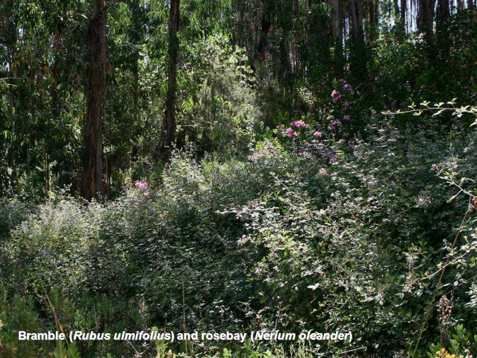 Bramble (Rubus ulmifolius) and rosebay (Nerium oleander)