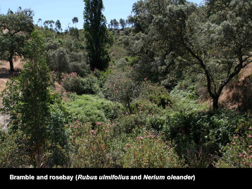 Bramble and rosebay (Rubus ulmifolius and Nerium oleander)