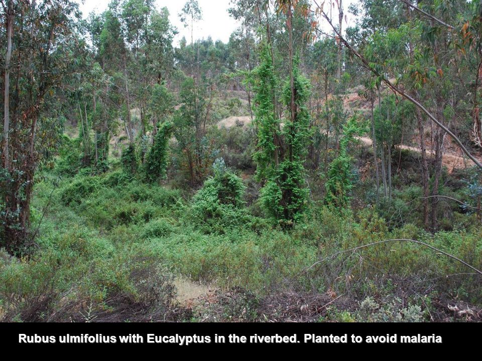 Rubus ulmifolius with Eucalyptus in the riverbed. Planted to avoid malaria