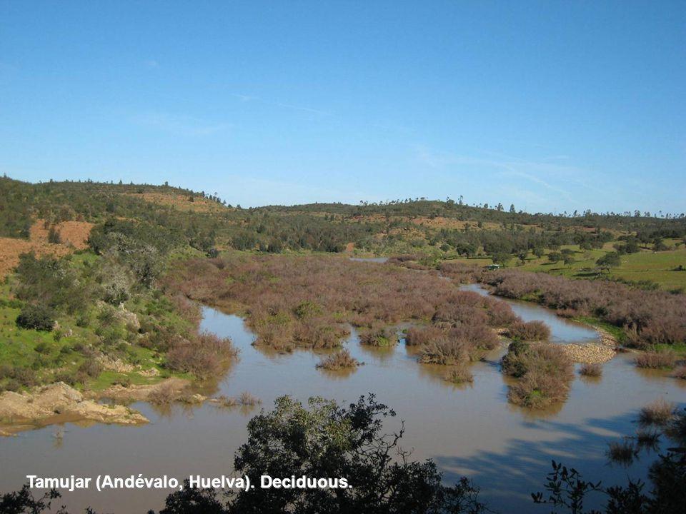 Tamujar (Andévalo, Huelva). Deciduous.