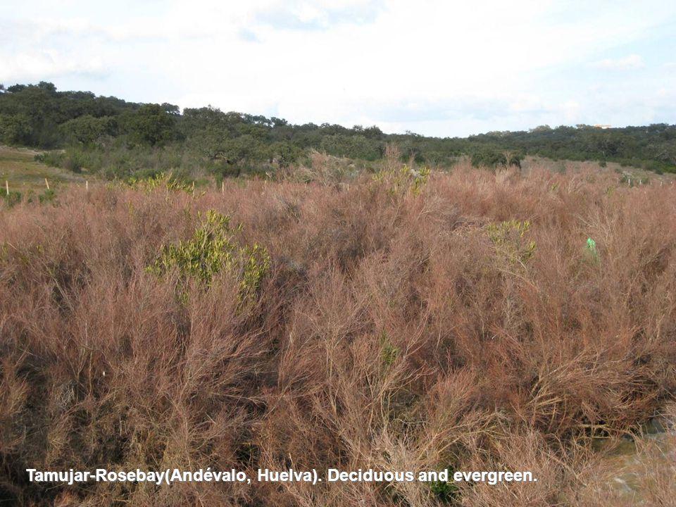 Tamujar-Rosebay(Andévalo, Huelva). Deciduous and evergreen.