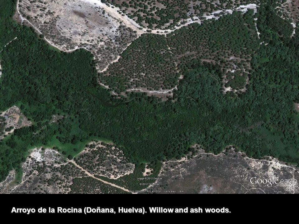 Arroyo de la Rocina (Doñana, Huelva). Willow and ash woods.