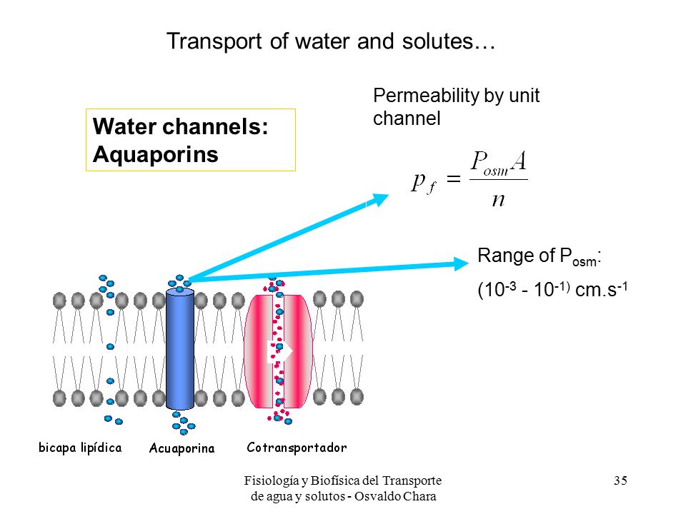 Fisiología y Biofísica del Transporte de agua y solutos - Osvaldo Chara 35 Range of P osm : (10 -3 - 10 -1) cm.s -1 Verkman, 2000 Permeability by unit channel Finkelstein, 1987 Water channels: Aquaporins Transport of water and solutes…