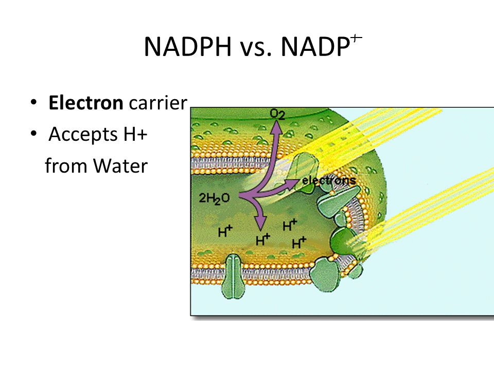 NADPH vs. NADP Electron carrier Accepts H+ from Water