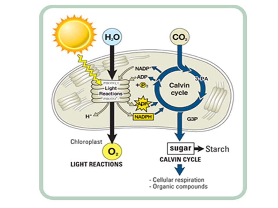 Light Dependent Reaction Light, water, NADP+, and ADP enter the thylakoid.