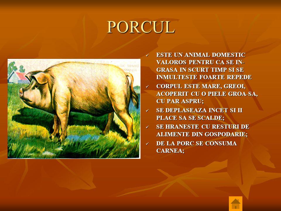 PORCUL ESTE UN ANIMAL DOMESTIC VALOROS PENTRU CA SE IN- GRASA IN SCURT TIMP SI SE INMULTESTE FOARTE REPEDE ESTE UN ANIMAL DOMESTIC VALOROS PENTRU CA S