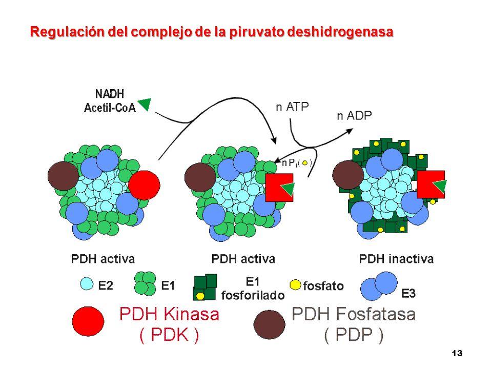 13 Regulación del complejo de la piruvato deshidrogenasa