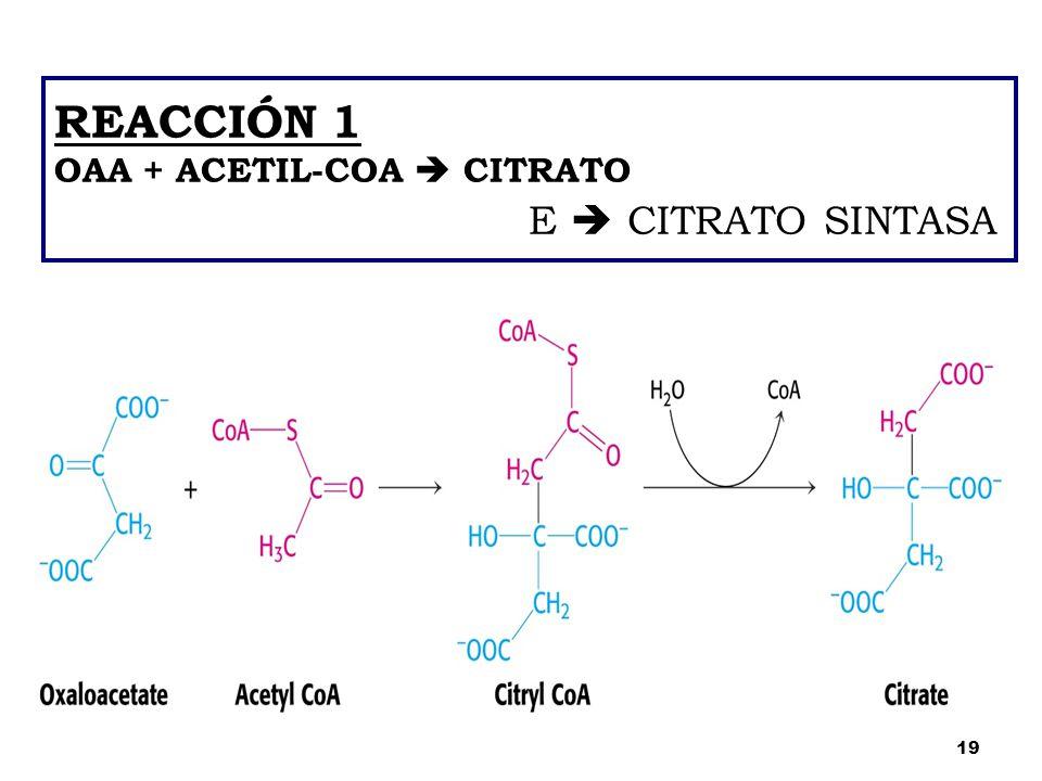 REACCIÓN 1 OAA + ACETIL-COA  CITRATO E  CITRATO SINTASA 19