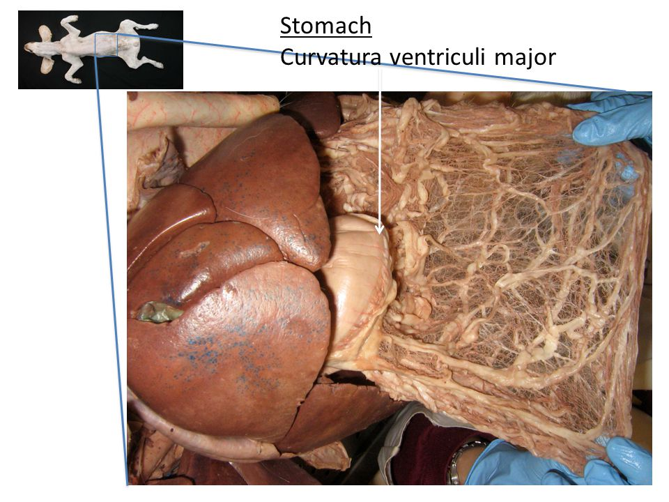 Stomach Curvatura ventriculi major