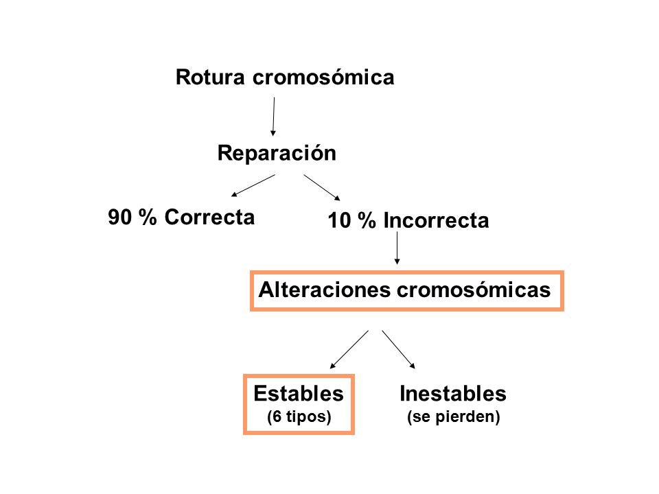 Rotura cromosómica Reparación 90 % Correcta 10 % Incorrecta Alteraciones cromosómicas Estables (6 tipos) Inestables (se pierden)