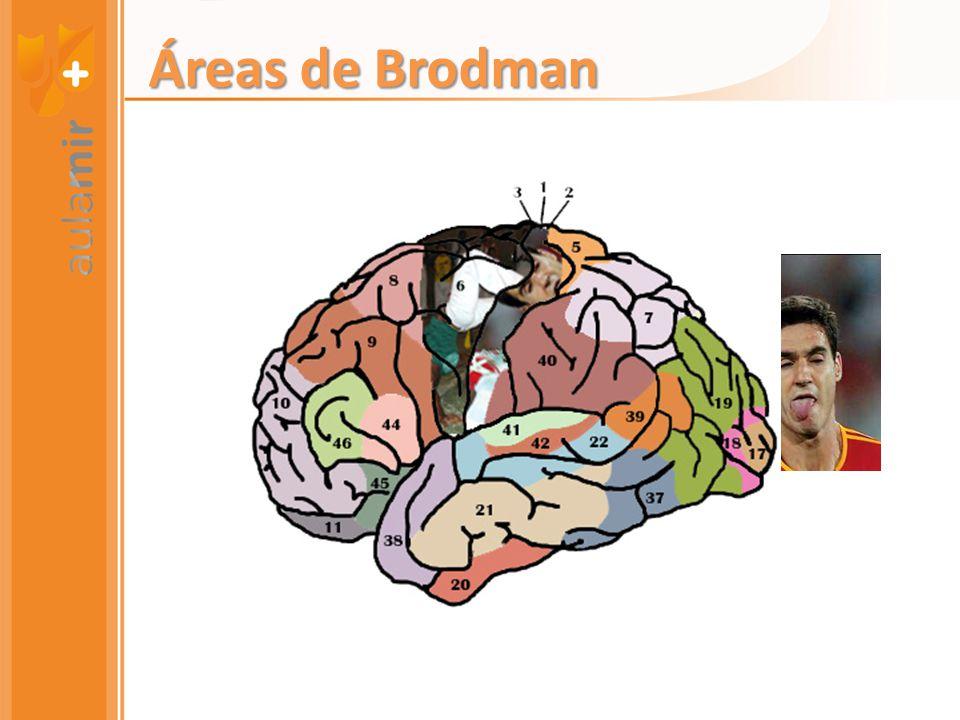 Áreas de Brodman
