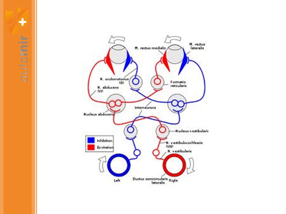 NEUROLOGÍA EQUILIBRIO -CEREBELO -VESTÍBULO (VIII PAR) -VISTA (II PAR, CORTEZA VISUAL AREA 17 OCCIPITAL) -PROPIOCEPCIÓN (CUELLO, PIERNAS)