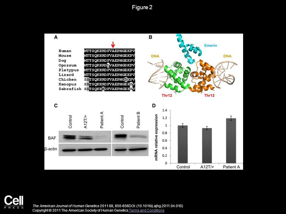 Figure 3 The American Journal of Human Genetics 2011 88, 650-656DOI: (10.1016/j.ajhg.2011.04.010) Copyright © 2011 The American Society of Human Genetics Terms and Conditions Terms and Conditions