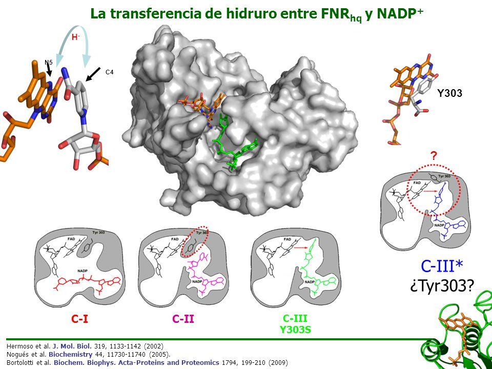 Tyr303Ser FNR ox + NADPHTyr303Ser FNR hq + NADP + B>C (6 o C) FNR ox + NADPH FNR hq + NADP + k HT-1 k HT Variante de FNRk HT (s -1 )k HT-1 (s -1 )K d (μM -1 )k cat /K m (s -1 μM -1 )E ox/hq (mV) Silvestre2702855,713,5-374 Tyr303Ser200--0,0072,9-250 C-III* ¿Tyr303.