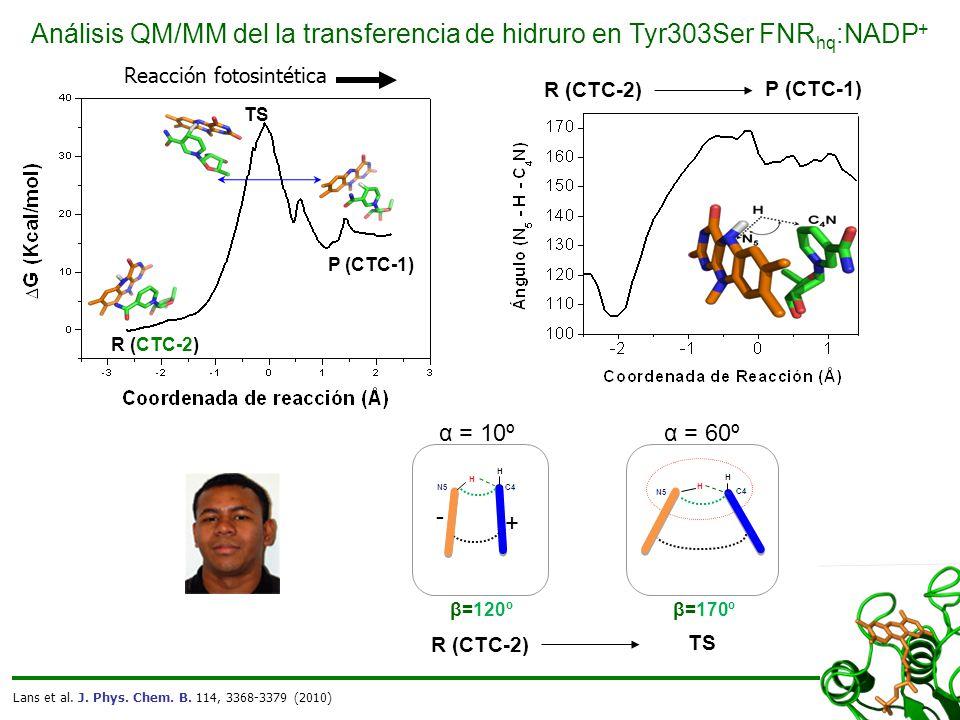 TS P (CTC-1) R (CTC-2) Análisis QM/MM del la transferencia de hidruro en Tyr303Ser FNR hq :NADP + Reacción fotosintética Lans et al.