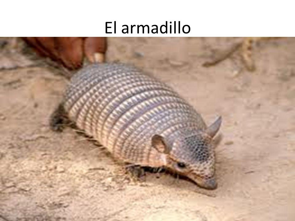 El armadillo